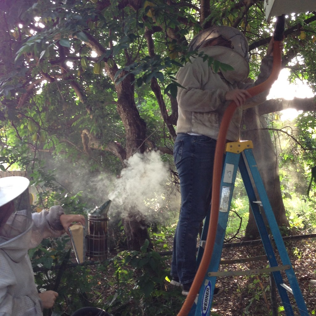 Sierra used as little smok as possible but Nicole and I wanted to use it heavily to sedate and disorient the bees.