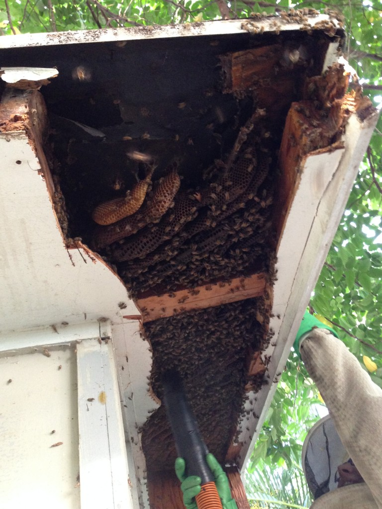"""The hive just kept going and going. Perhaps you can tell from the wavy cut lines that this was Sierra's first time using power tools for a """"cut-out"""""""