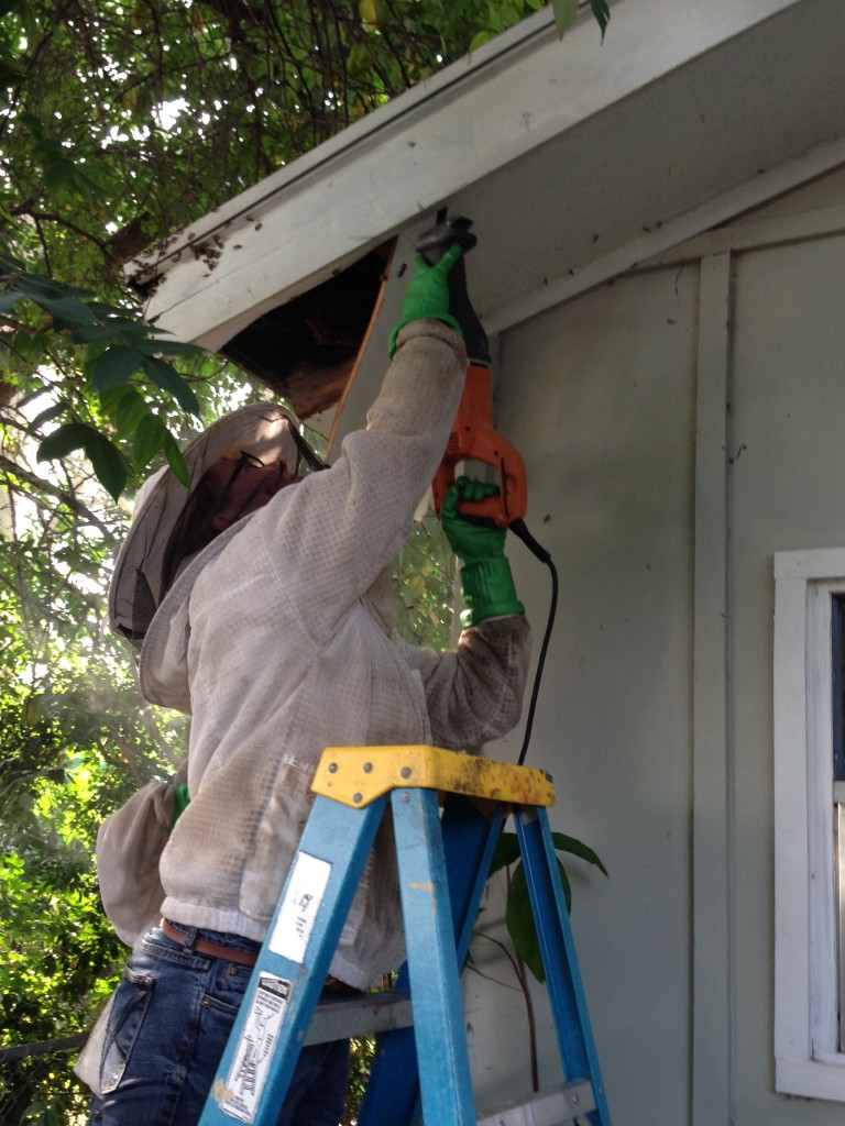 Sierra had to use power tools to get access to the hive. She cut and then she vacuumed.