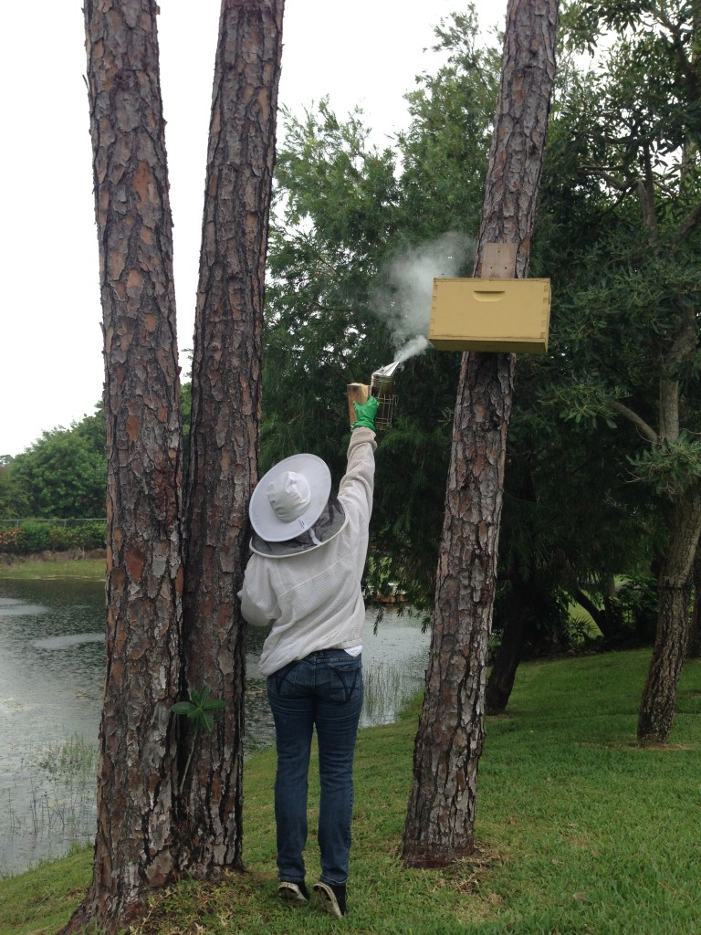 Smoking a freshly caught swarm before moving it into a proper hive. Bees can be moved 12 inches or 12 miles - so the box being taken to Sierra's bee yard and being swapped out for another swarm. This box caught a second swarm while I was there.